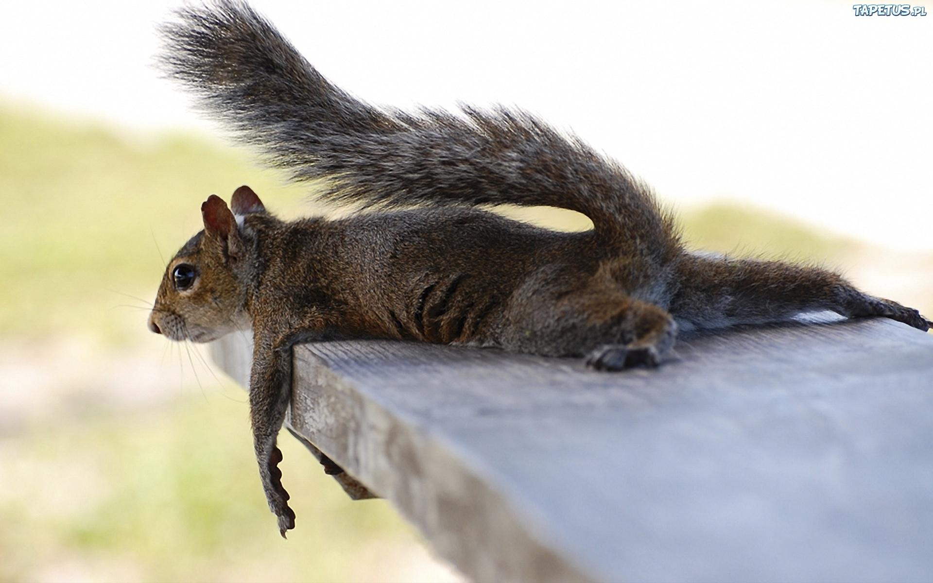 81429_deska-wiewiorka-odpoczynek